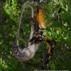 Possibly the first photo captured of a Golden Orb Weaver eating meat.