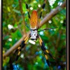 Female Golden Orb Weaver
