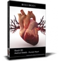 Human Heart Model